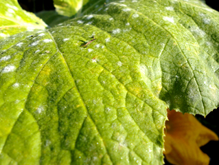 Powdery Mildew Infecting a Patty Pan Squash