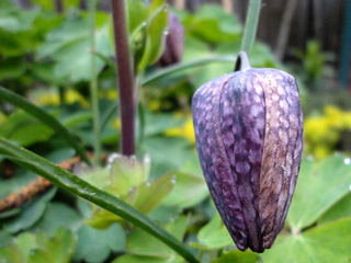 Checker Lily