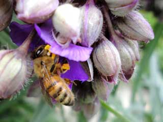 Honeybee feasting on & pollinating Tradescantia