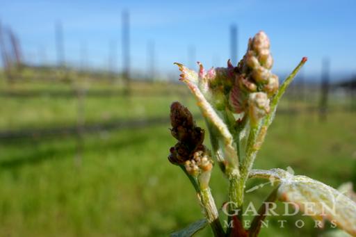 Vineyard Grapes in Spring