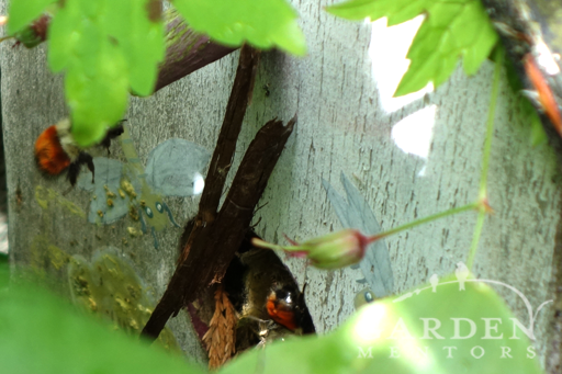 bumblebees in birdhouse