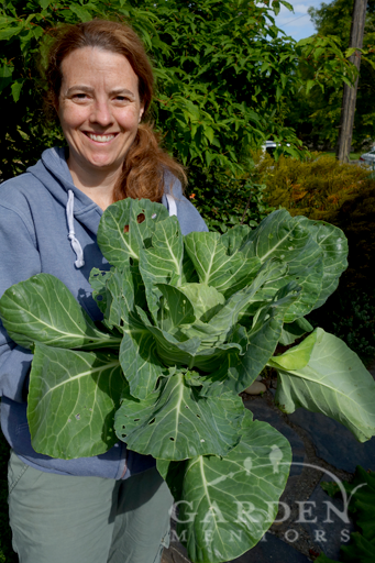 Untrimmed cabbage plant