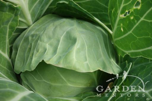 Pixie Cabbage
