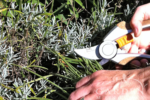 Pruning Lavender Cuts