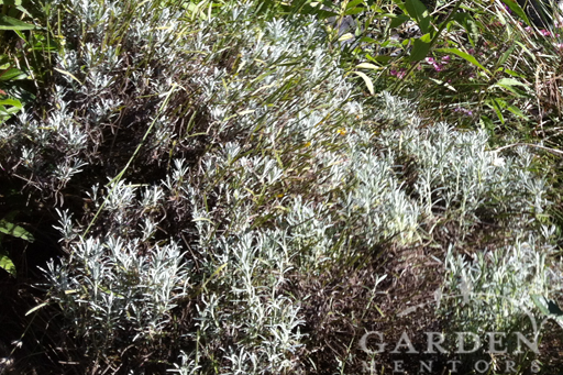 Sheared Lavender Shrub