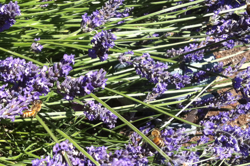 Honeybee Pollinators on Lavender Blooms