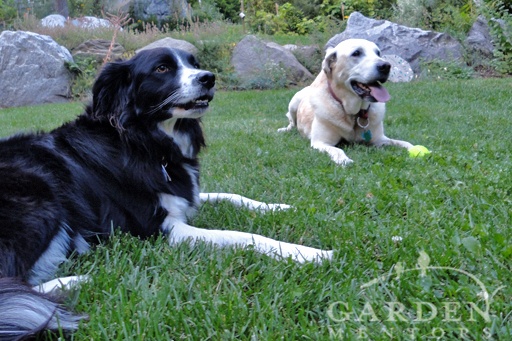 Dogs and Lawn