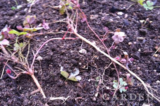 Oxalis Wood Sorrel Weed Tap Root Example