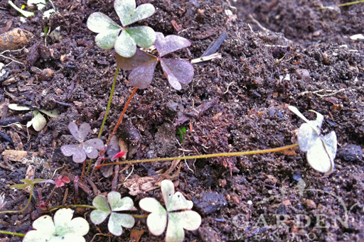 Oxalis Wood Sorrel with Mildew Infestation