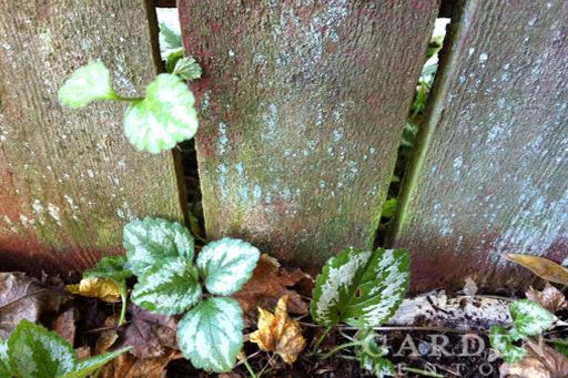 Unwanted Lamium crossing a fenceline