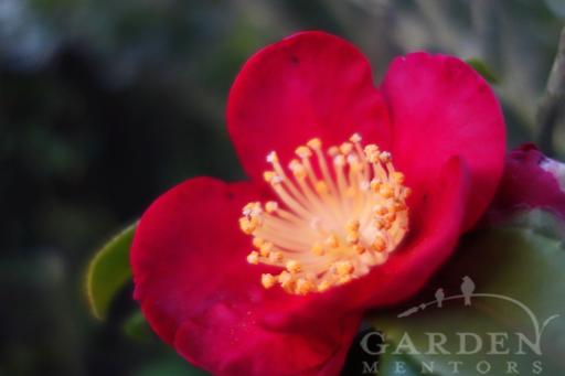 Yuletide Camellia Bloom