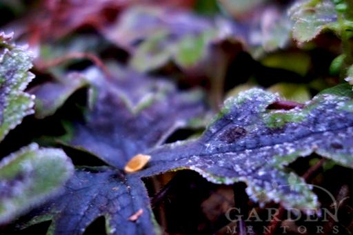 Frost Speckling Tiarella Foliage