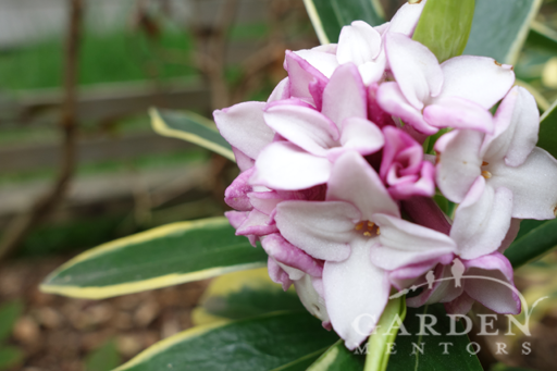 Gardening guide: Non-stop Color Daphne