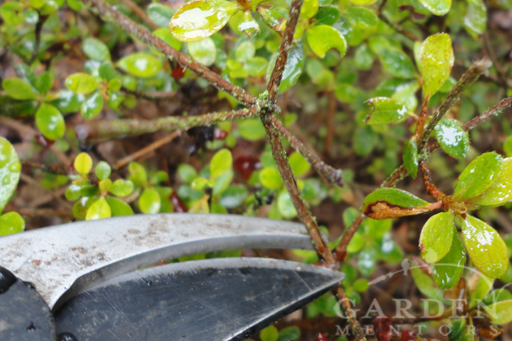 Pruning Guide: Azalea