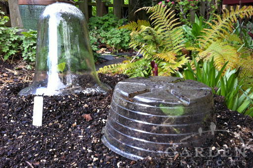 Two cloches in the garden
