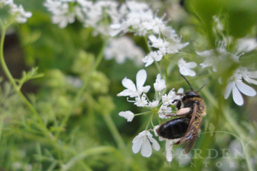 Bee Pollinating flowering cilantro plant