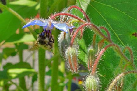 bumblebee on borage