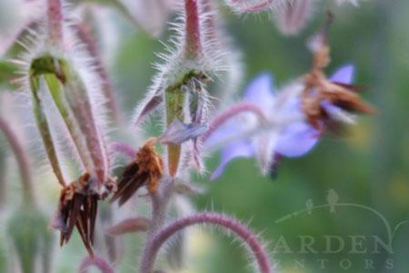 Borage flower & seeds