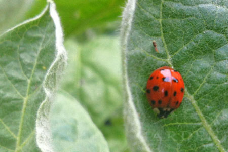 Beneficial Lady Beetle
