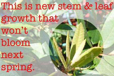 New Leaf growth on a Rhodie