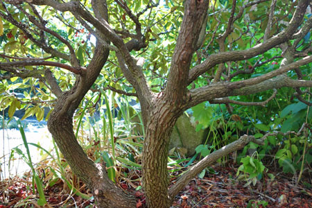 Pruned Rhododendron