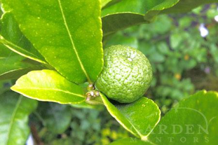 Makrut lime fruit