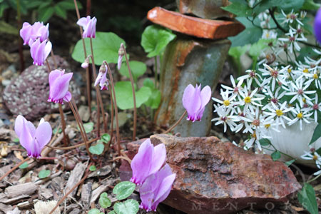 Cyclamen hederifolium provides ivy-like leaves all winter. Then, in mid-spring, they disappear until their pretty pink flowers rise up from the soil just as Autumn begins to arrive.