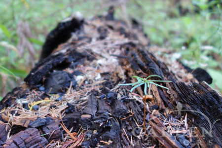 New life arising from charred forest nurse log