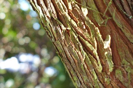 Arbutus unedo shaggy bark.