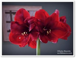 Amaryllis benfica