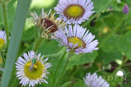Pollinator plants like erigeron attract sweat bees