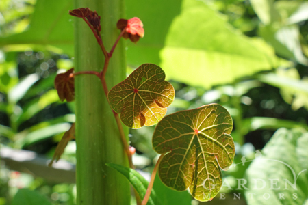 Nasturtium grows up sunchoke