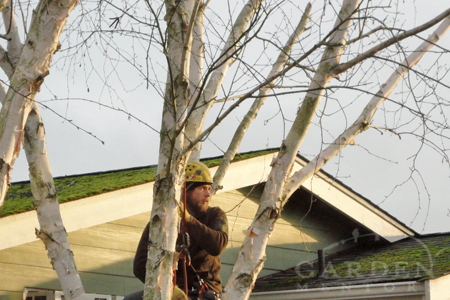arborist in birch tree