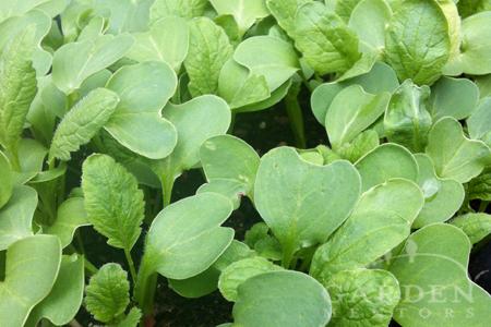 Radish leafy greens