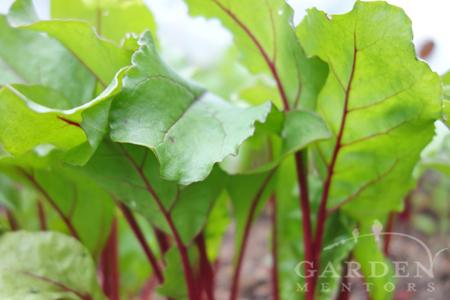 Beet Leafy Greens