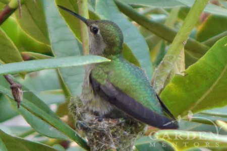 Anna's hummingbird is nesting this earth day