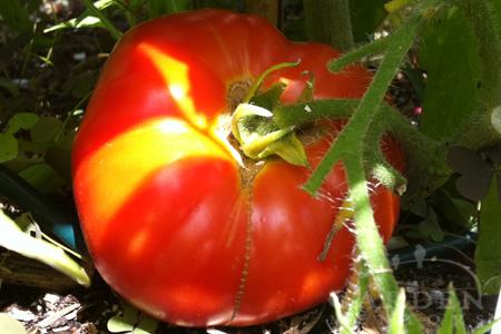 Oregon Springs Tomato Ripening. Definitely a best tomato to grow!