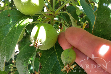 how to thin apple tree example