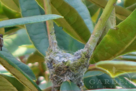 hummingbird nest under construction