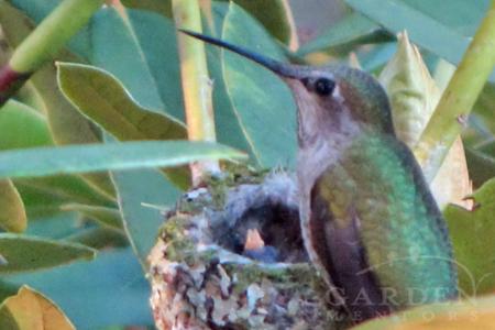 Anna hummingbird feeding newborn