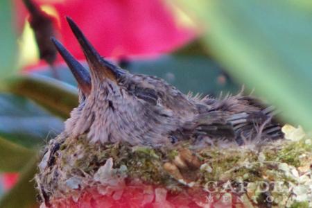 Two week old baby hummingbirds