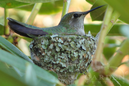 Anna Hummingbird incubating eggs in nest