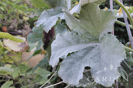 powdery mildew on squash
