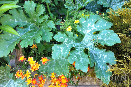 Not Powdery Mildew on Squash