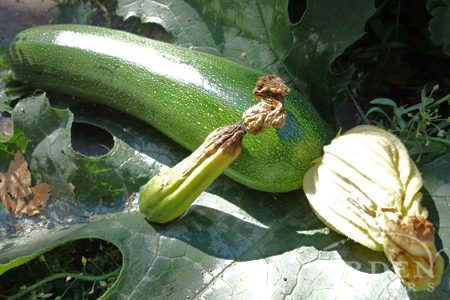 Example of poorly & well pollinated zucchini fruits