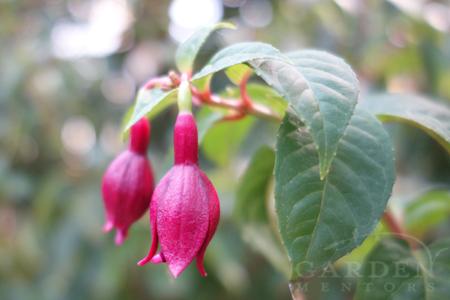 DebRon's Black Cherry Hardy Fuchsia