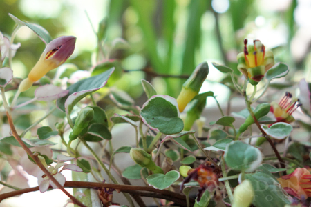 Fuchsia procumbens 'Wirral'