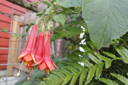 Hardy Fuchsia speciosa