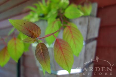 Fuchsia 'Autumnale' foliage