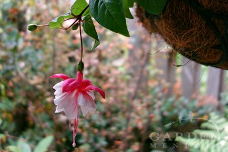 Swingtime Fuchsia